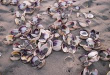 Clam shells are a common find...